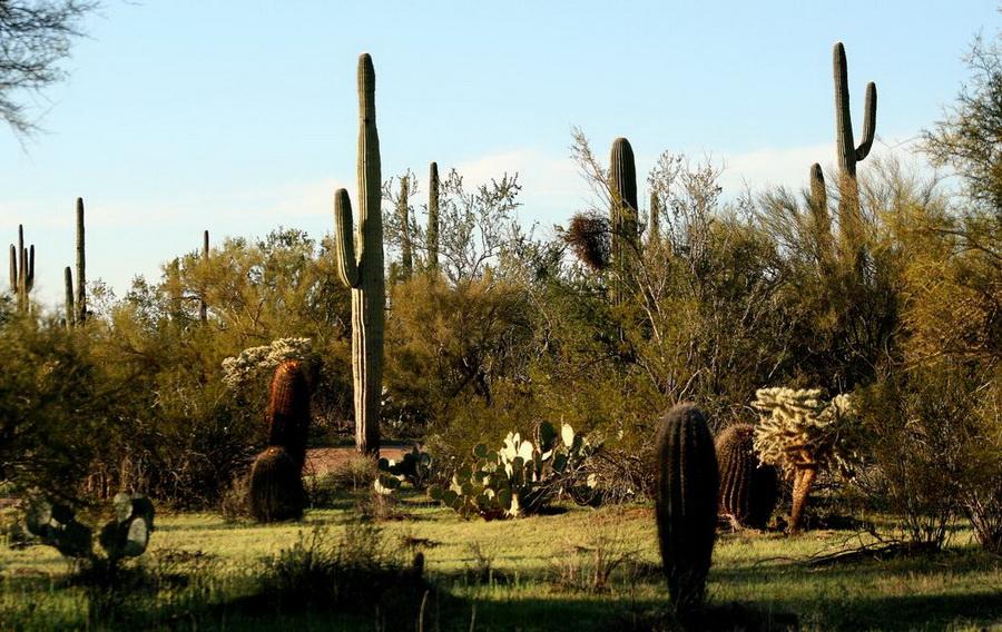 ФОТО: Мексика - Сагуаро – гигантские кактусы | Кактус ...