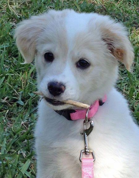 Addie The American Eskimo Mix Puppy Cutie Pie American Eskimo