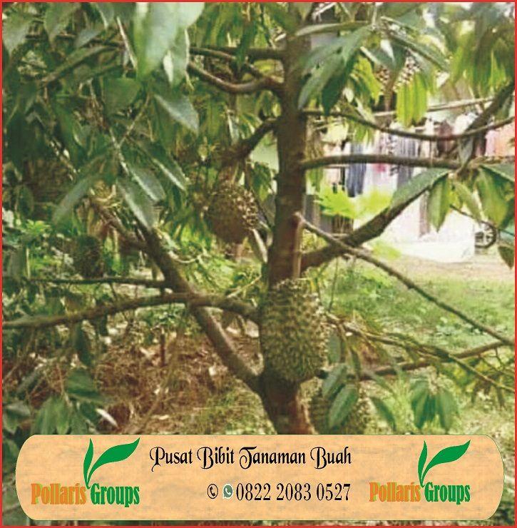 Kebun Durian Musang King Di Indonesia