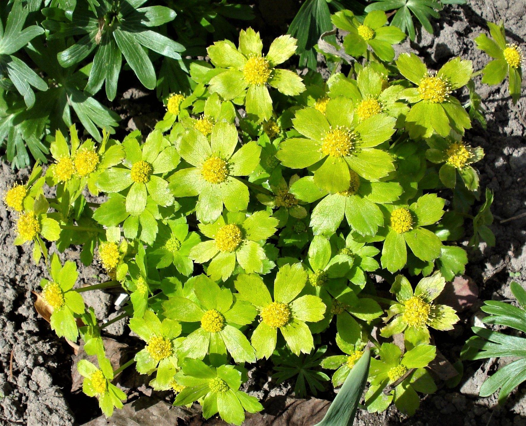 Zielone Kwiatki Kwitnace Wczesna Wiosna Cieszynianka Wiosenna Plants