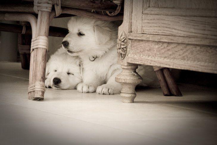 White german shepherd puppies texas