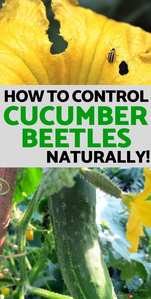 Vegetable Gardening Tips How to Control cucumber beetles naturally in your back