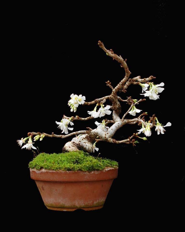 bonsai bonsai shohin bonsai penjing pinterest gr n. Black Bedroom Furniture Sets. Home Design Ideas