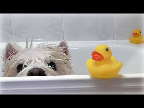 Romeo S Bath Time Westie Senior Dog Pet Cute Funny