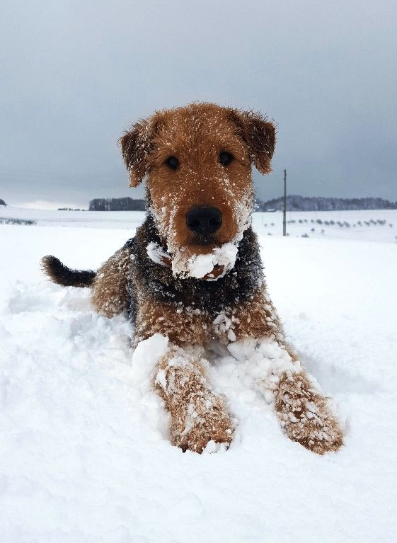 Airedale Terrier Tra La Neve Hund Lachelnd Niedliche Hunde Susse Hunde