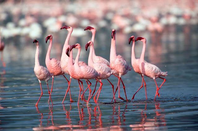 Flamingo birds in kutch | Flamingo bird, Flamingo, Birds