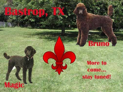Royal Standard Poodles Puppies For Sale Breeder South Of Staples Mn Black Brown Red Apricot Cream N Poodle Puppies For Sale Poodle Puppy Standard Poodle