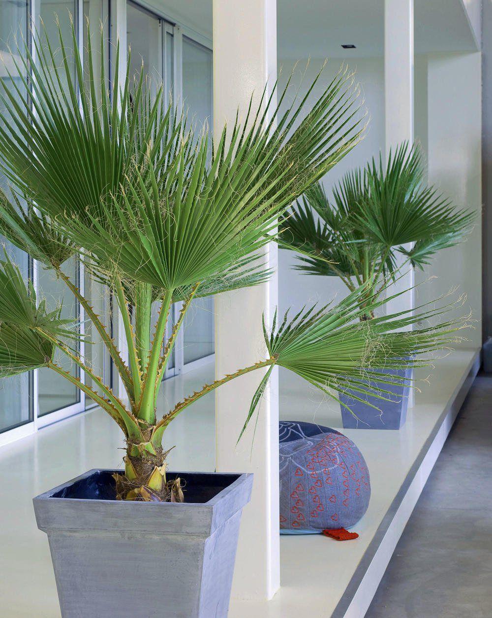 Kalifornische Washingtonpalme Zimmerpflanze Mit Fernweh Flair Zimmerpflanzen Pflanzen Im Badezimmer Pflanzen