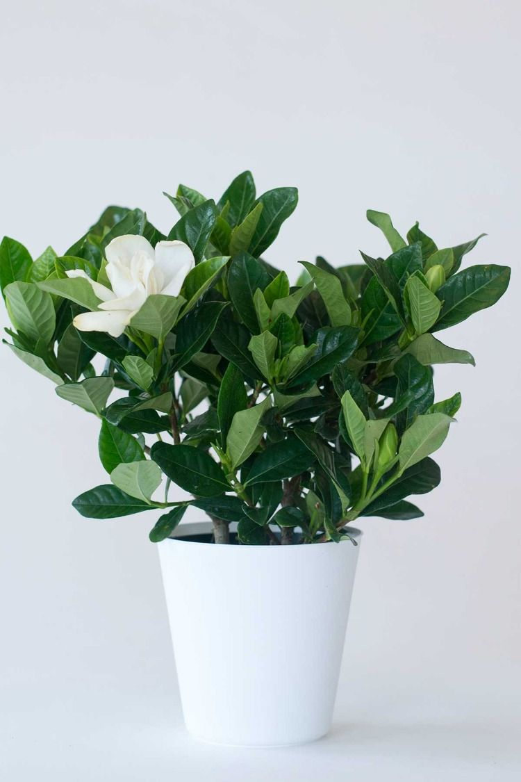 Beautiful Gardenia Root98warehouse Com Plants Plant Gifts Perfect Plants