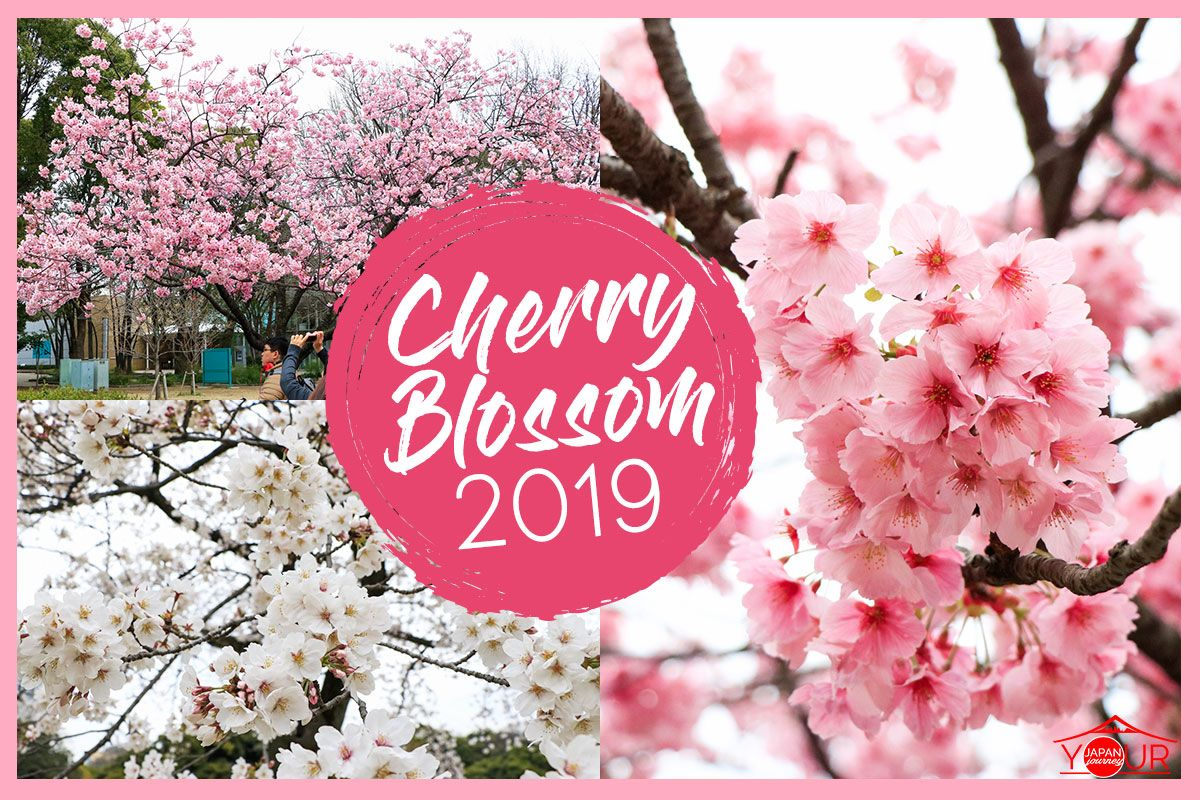 Photos Were Taken On March 29 2019 It S Cherry Blossom Explosion Week In Tokyo The Best Time To Go Sight Seeing For Cherry Blossoms Although Today Is A G