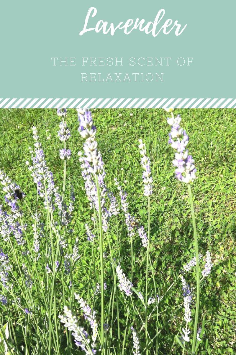 Relaxation Lavender Lavender Plant Care Growing Lavender