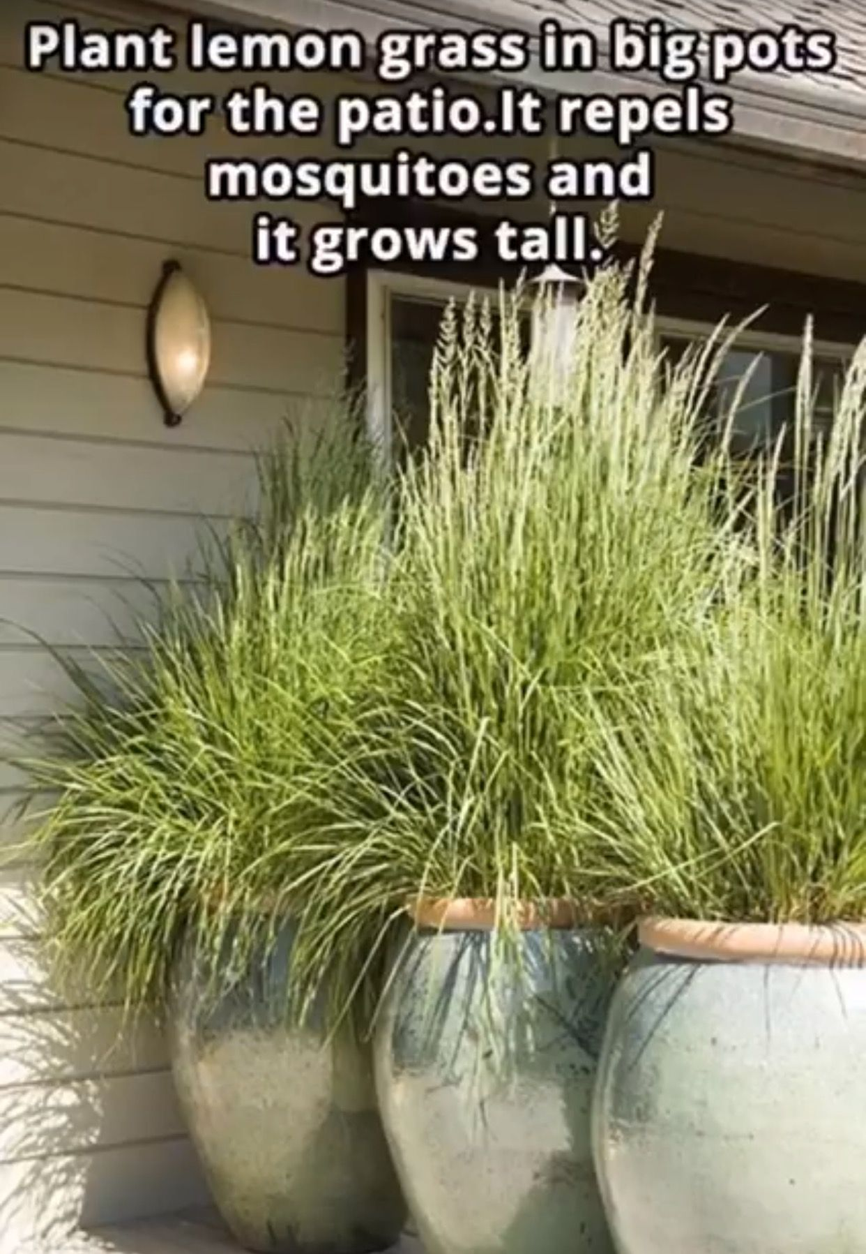 Life Hacks  Plant Lemon Grass In Big Pots For The Patio. It Repels  Mosquitoes And It Grows Tall.