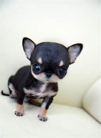 Baby Doll Face Teacup Chihuahua Puppies Chihuahua Puppies