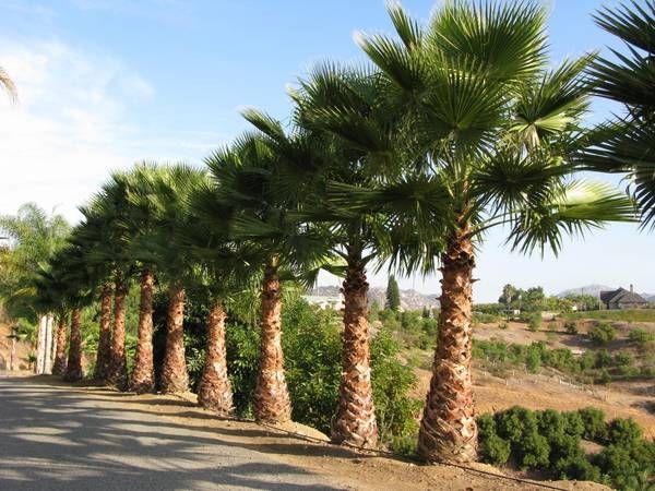 Pin By Mark Njiu On Palms Mexican Fan Palm Fan Palm Palm