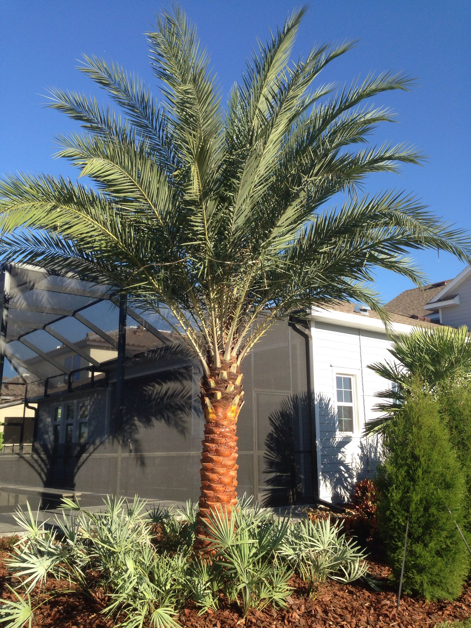 Sylvester Palms Are Perfect For Florida S Climate And So
