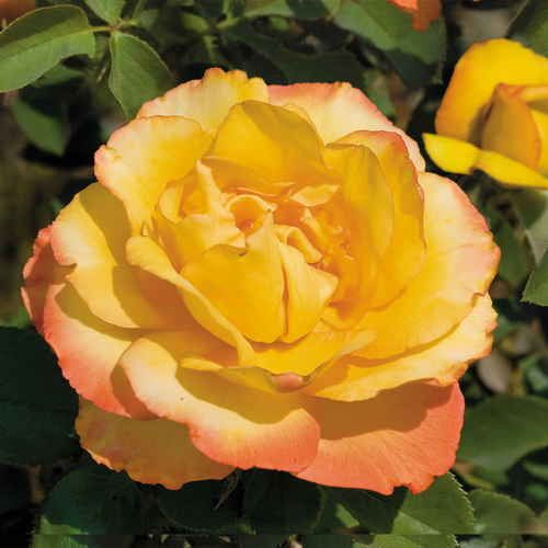 Pin By Jackson Perkins On Our Roses Hybrid Tea Roses Tea Roses Flowers