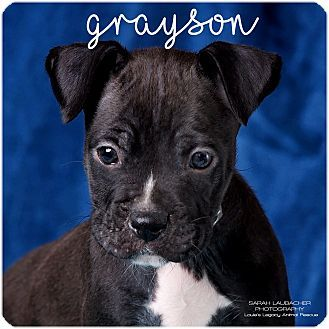Cincinnati Oh Boxer Great Dane Mix Meet Grayson A Puppy For Adoption Http Www Adoptapet Com Pet 17882169 Cincinnati Oh With Images Pet Adoption Puppy Adoption Pets