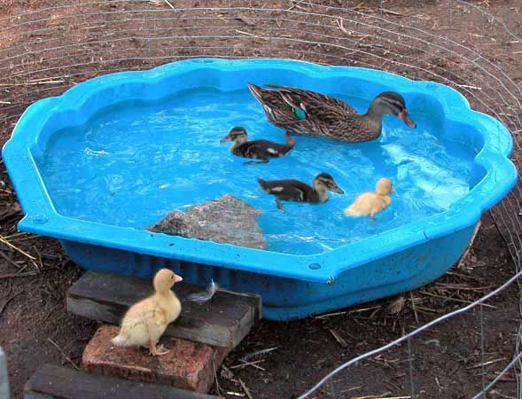 backyard ponds | Backyard Poultry by Andy Vardy & Team ...