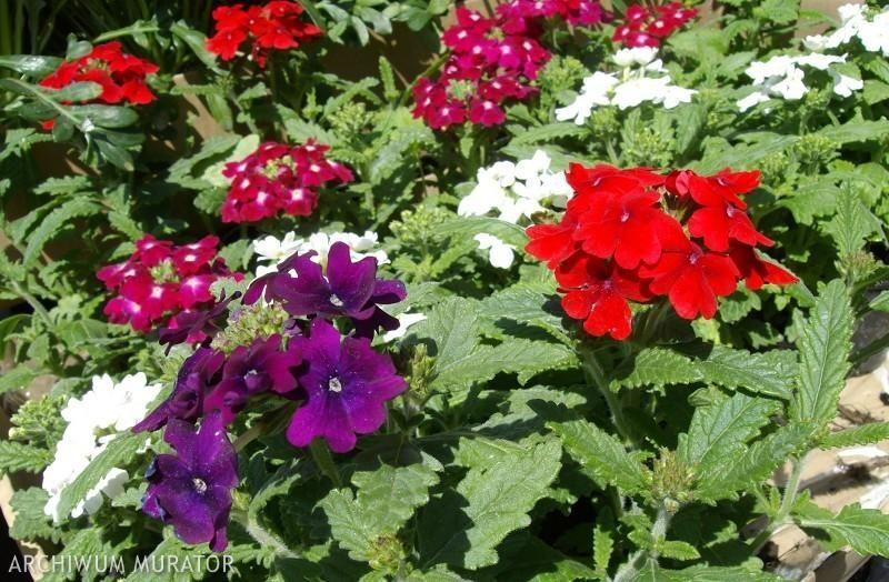 Rosliny Na Sloneczny Poludniowy Balkon Plants