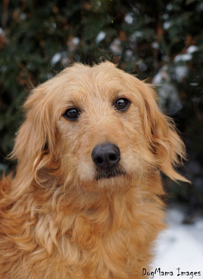 Adopt Lady on Petfinder Dogs golden retriever, Golden