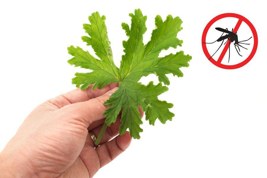 12 plantas para ahuyentar los mosquitos para proteger tu salud y vivir con m s comodidad - Como ahuyentar mosquitos ...