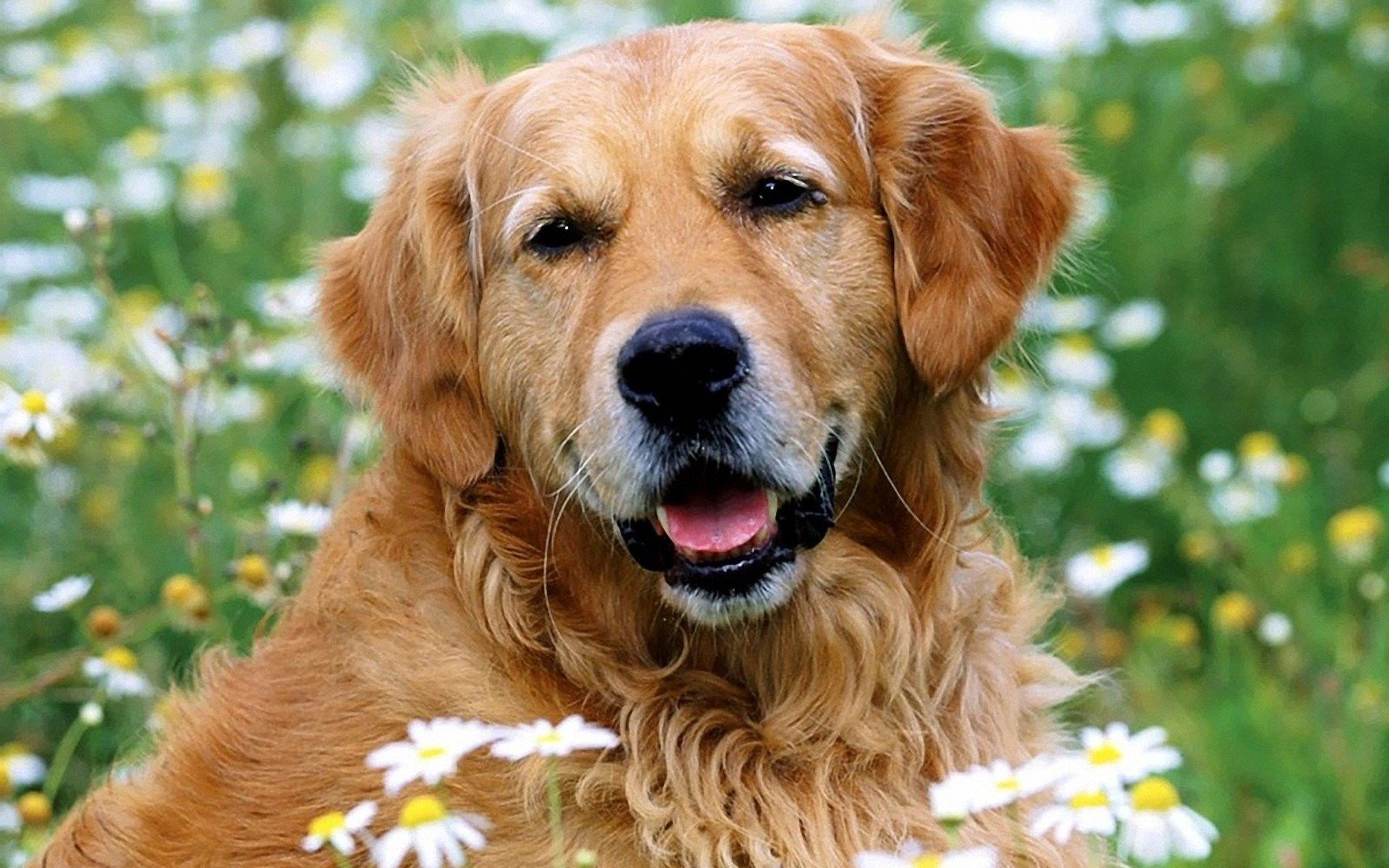 Golden Retriever Pics Golden Retriever Funny Face 1920x1200