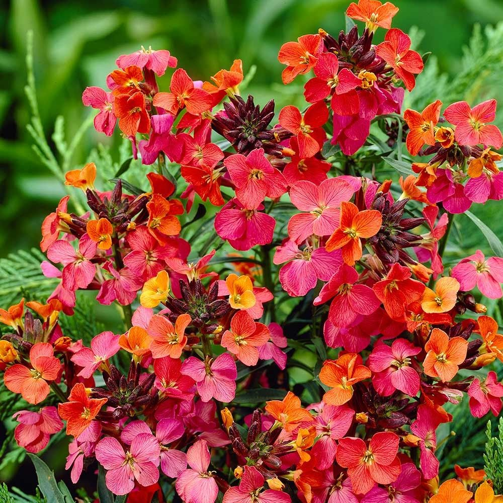 Marvelous Erysimum Constant Cheer Dwarf Low Growing Shrubs Shrubs Bysize Shrubs Erysimum Constant Cheer Dwarf Low Growing Shrubs Shrubs Low Growing Shrubs Afternoon Sun Low Growing Shrubs Flowers houzz-02 Low Growing Shrubs