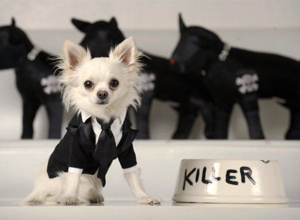 Ropa para perros chihuahua, modelos exclusivos