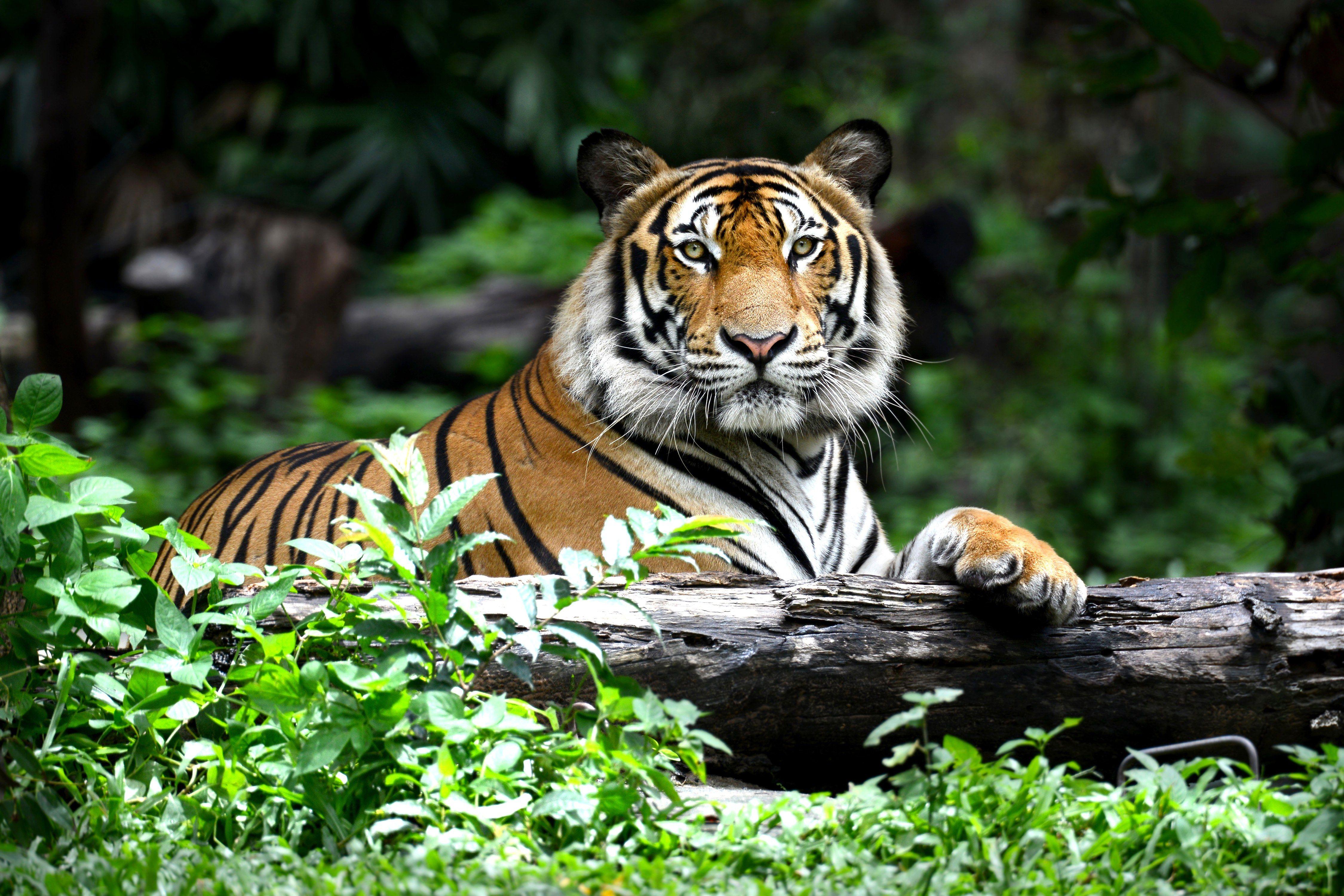 Around Us Ειδήσεις Tiger conservation, Wild tiger