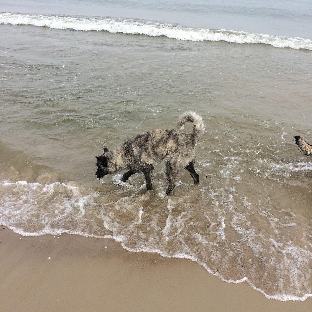 #Duke #Hollandseherder #Herder #dogs #dog #cute #welpe #11month #der_dukie  #holländischerschäferhund #dogsofinstagramsg #dogsofinstagram #workingdog #dutchshepard #friends #dogtraining #Hollandseherder #herdershond #doglife #dogs #meinkleinerwolf