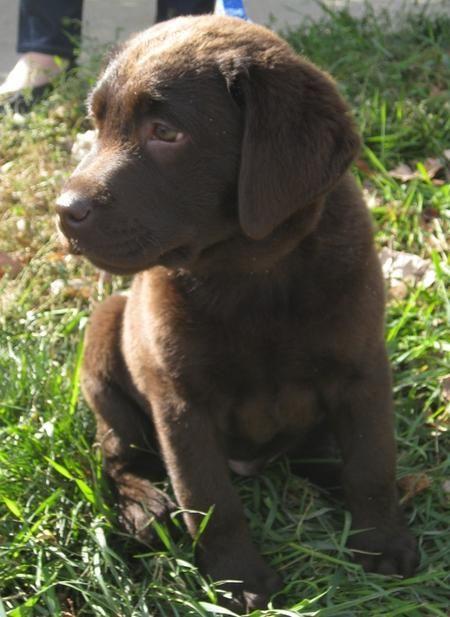 Sweet little chocolate Lab puppy