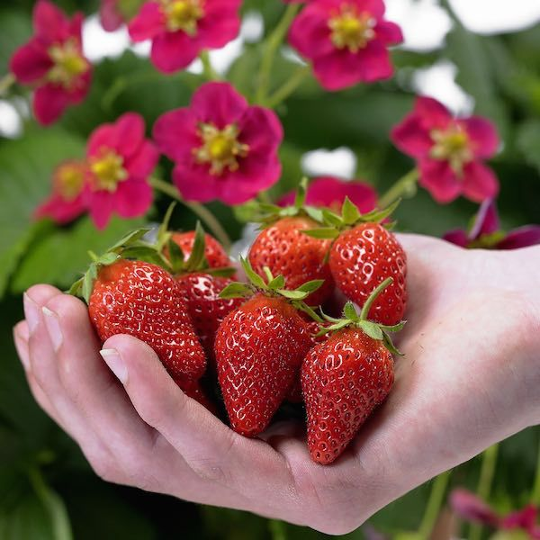 Toscana strawberry cone shaped fruit deep pink flowers garden toscana strawberry cone shaped fruit deep pink flowers mightylinksfo