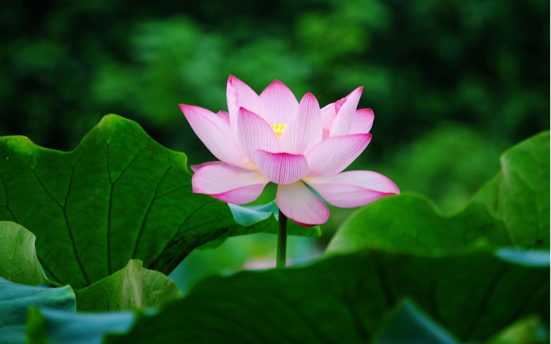 water lilies Google Search Flower photos, Lotus flower