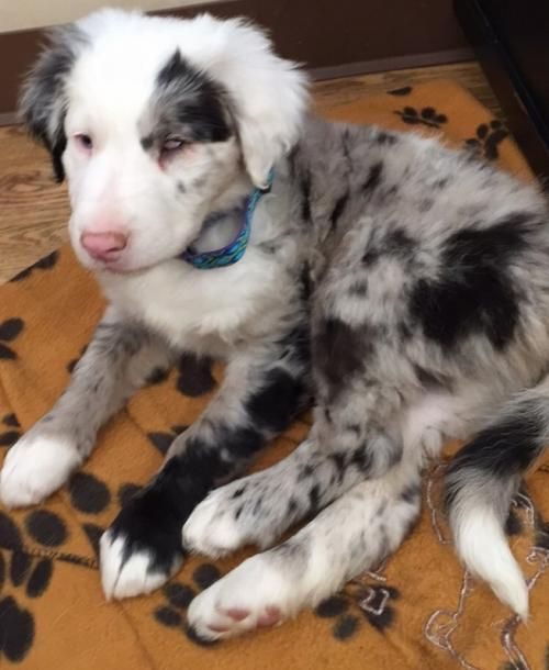 Adopt Pip Special Needs On Petfinder Puppies And Kitties Aussie Puppies Cute Dogs And Puppies