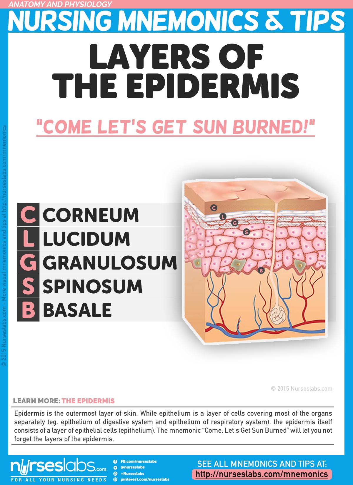 best 25+ layers of the epidermis ideas on pinterest | layers of, Cephalic Vein