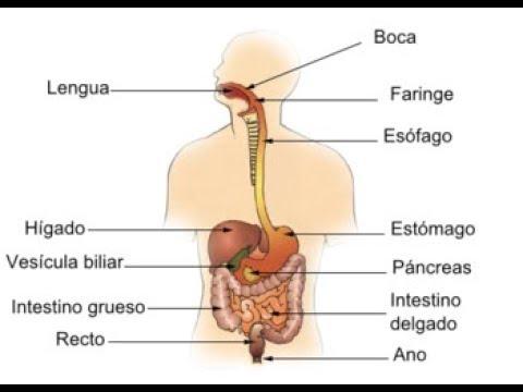 Canción del aparato digestivo YouTube Sistema