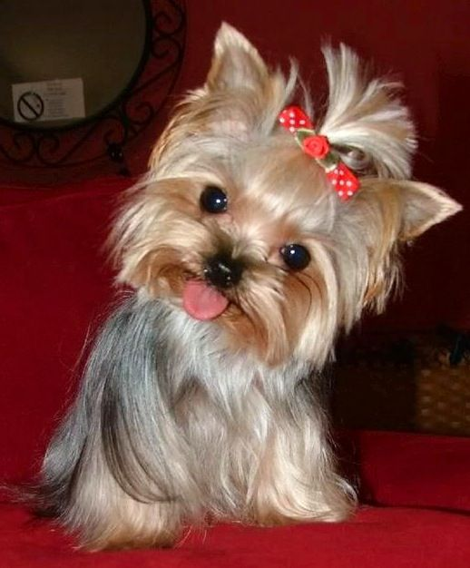Yorkshire Terriers Interesting History Yorkie Dogs Yorkie Puppy Yorkshire Terrier Dog