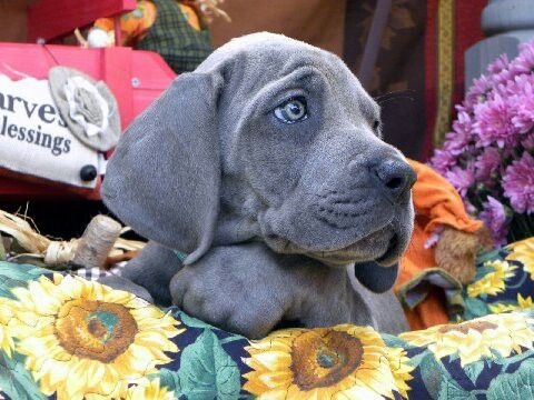 Fall Blessings At Victory Great Danes Great Dane Dane Dogs