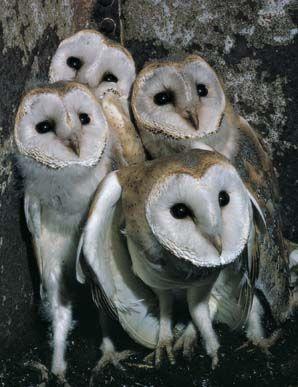 Flock Of Owls : flock, Aminals