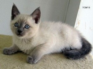 Siamese Cats Mix Cute Baby Animals Cat Colors Cat Work