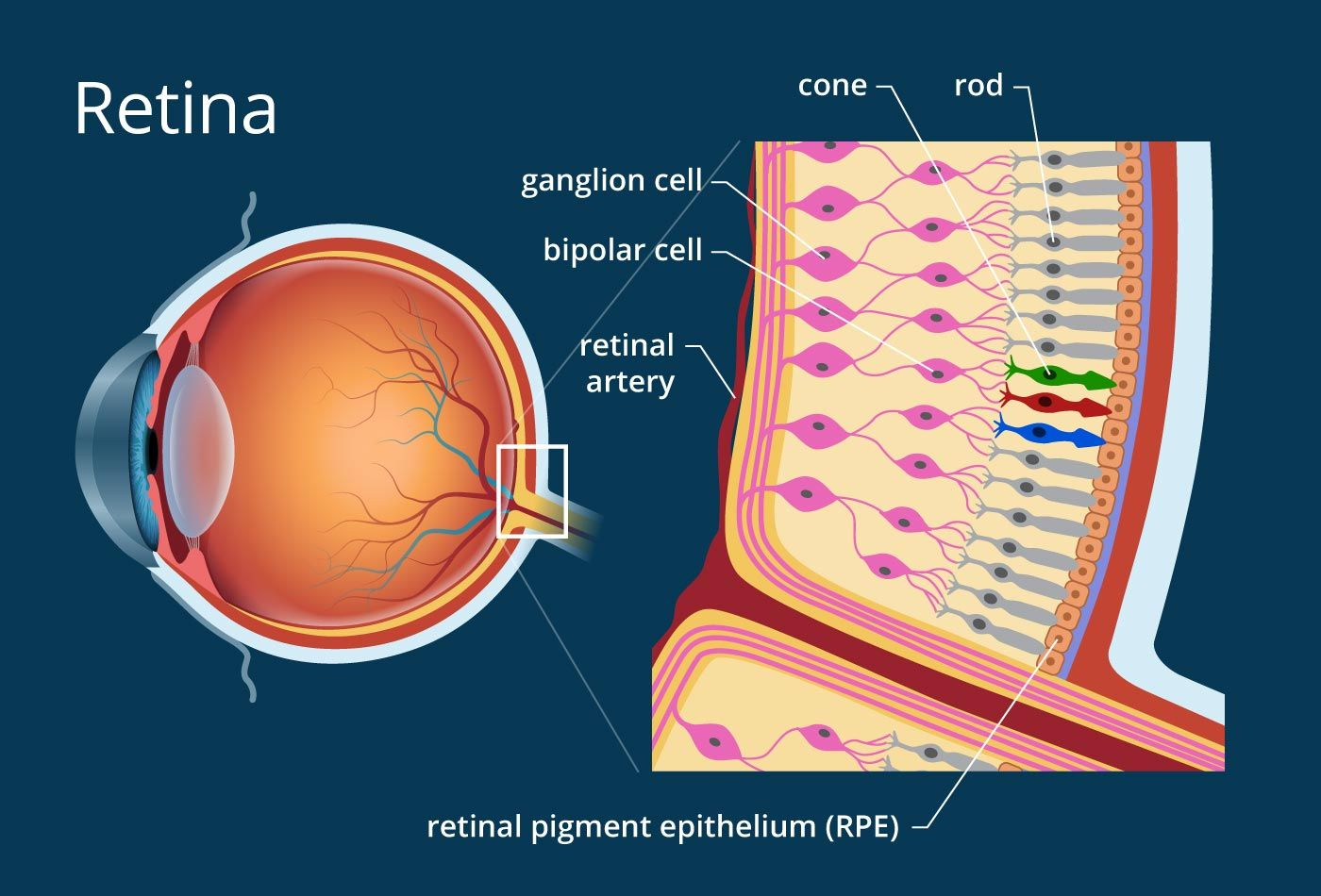 How The Retina Works Detailed Illustration The Retina Eye Anatomy Parts Of The Eye