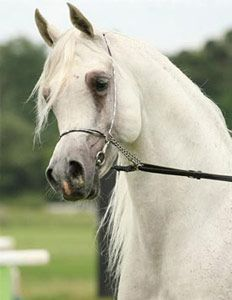 Sterling Vision (Imperial Imdal by Ansata Imperial x Nagda by Nabiel) 1994 - 2010, grey SE stallion bed by Thomas Trish - blue list - Strain: Abayyan Umm Jurays