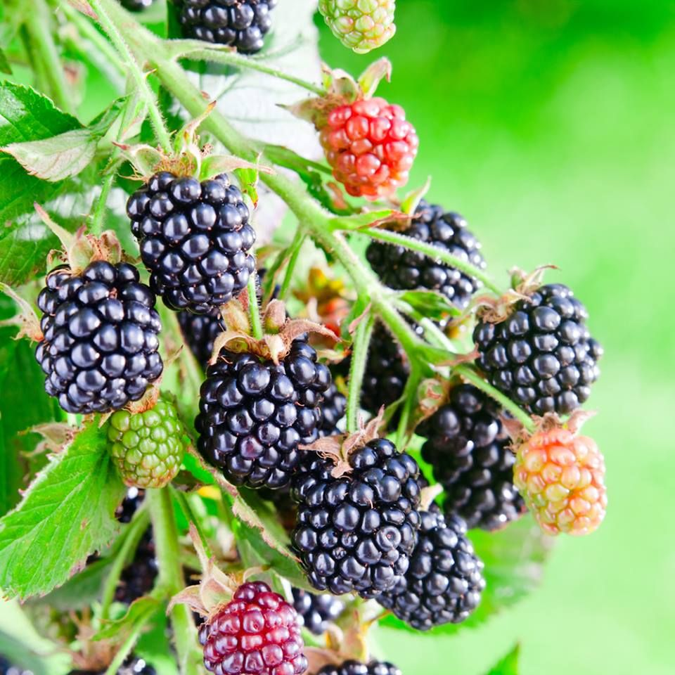 Grow Luscious, Low-Maintenance Blackberries  Your future days spent savoring straight-from-the-cane blackberries, blackberry cobbler and blackberry wine start here. Here's how to cultivate these healthful, bountiful bramble fruits: http://trib.al/OhxITL7.