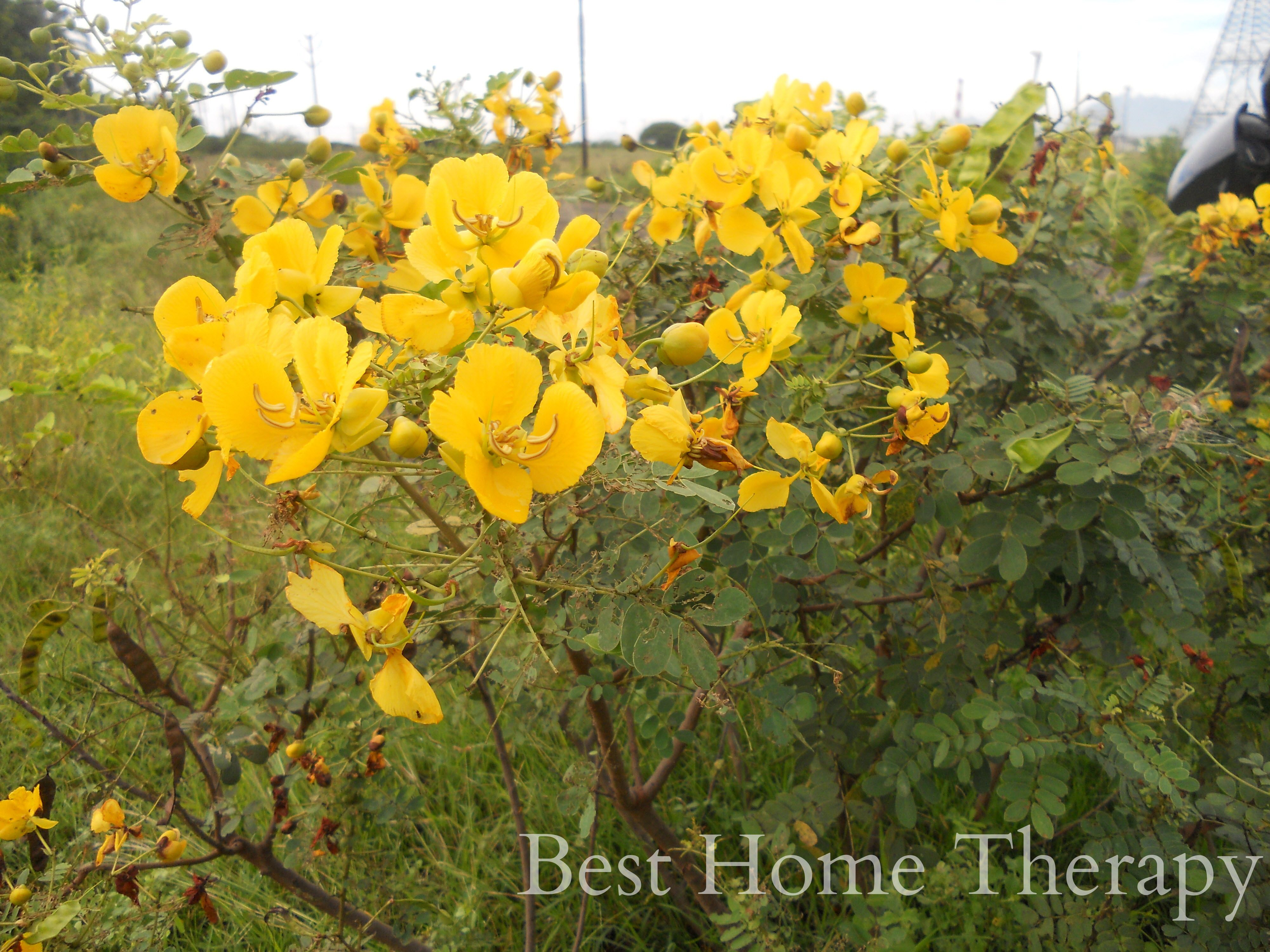 Treat Skin Problems Naturally Using Tanners Cassia Flowers Flower Tea Nature Skin Problems