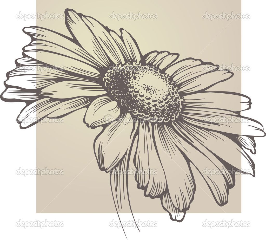 Vector chamomile flower isolated — Stock Vector © Mur34