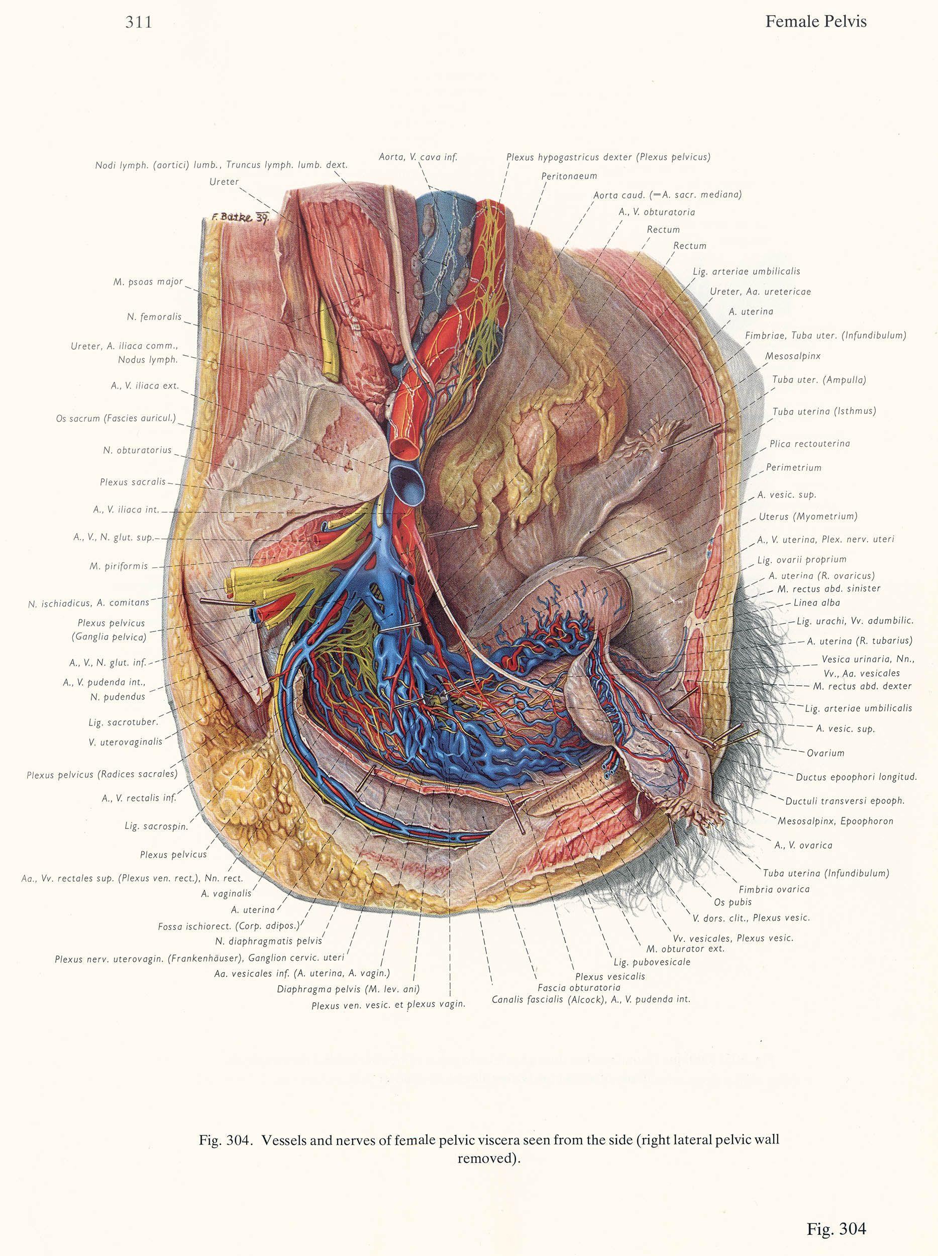 Vessels And Nerves Of The Female Pelvis Franz Batke Click For