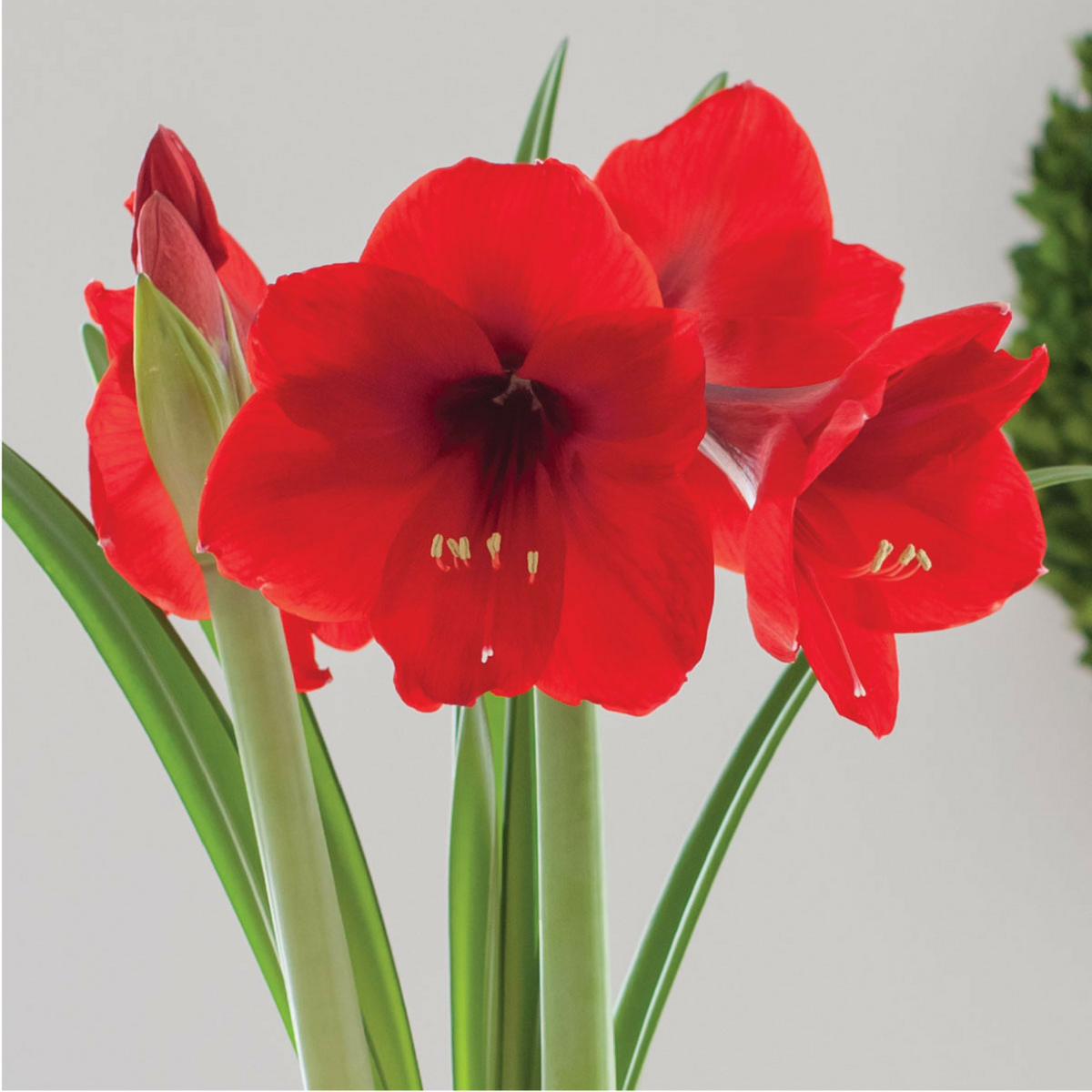 Amaryllis Red Lion Now You Can Enjoy Having This Classic Velvety Red Amaryllis In Bloom For The Holidays Grow I Bulb Flowers Outdoor Flowers Red Amaryllis