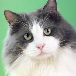 Adopt Damia Adopted! on Ragamuffin cat, Crazy cats