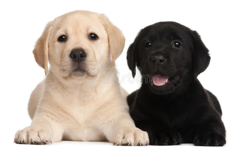 Two Labrador Puppies 7 Weeks Old In Front Of White Background Affiliate Weeks Puppies Labrador Backgroun Labrador Breeders Labrador Puppy Labrador