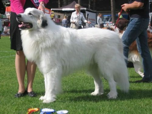 Extra Large Dog Breeds Long Hair Dog Breed Finders Extra Large Dog Breeds Large Dog Breeds Dog Breed Finder